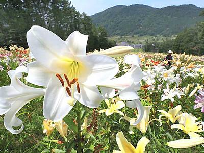 高原の夏、ユリが彩り 信濃町のゲレンデに14万株