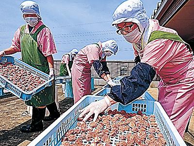 金沢でウメ「土用干し」最盛期