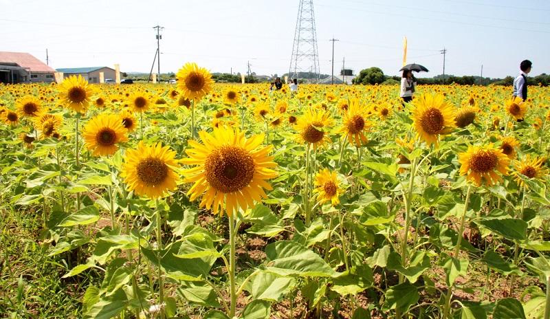 約10万本のヒマワリが咲いた「ひまわりパーク」=7月27日、福井県坂井市三国町池上