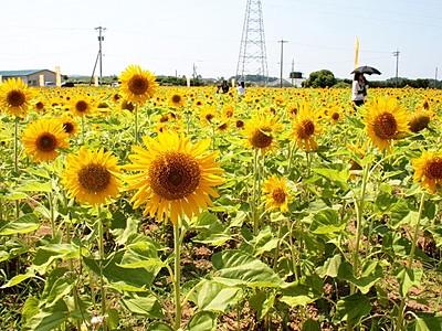 ヒマワリ畑、夏満開 福井県坂井市で10万本見頃