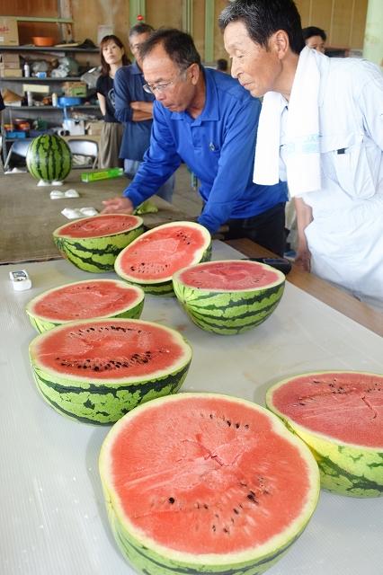 目ぞろえ会でしらやま西瓜の大きさや食感、糖度などを確認する生産者ら=7月27日、福井県越前市上杉本町