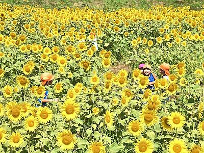 1万本の黄色に包まれて 伊那の園児、ヒマワリ迷路楽しむ