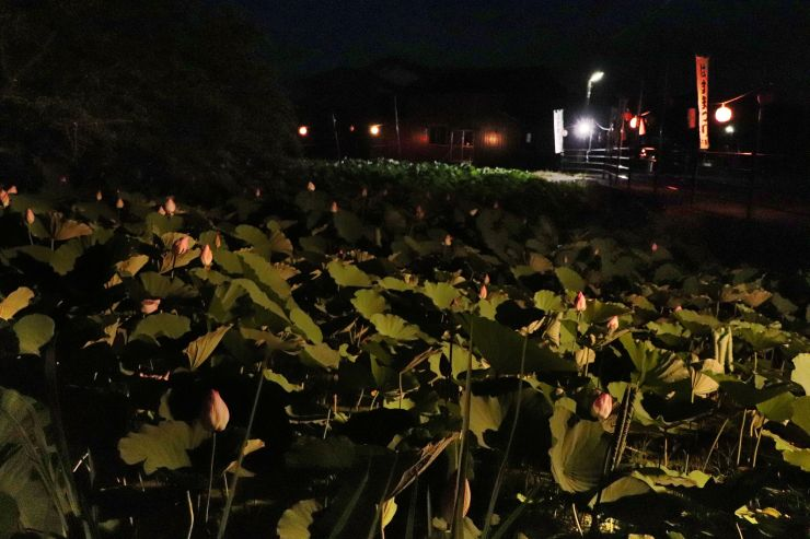 祭りに向けてライトアップされている堀のハス=8月1日、佐渡市下新穂