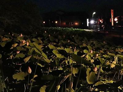 大きなハス、ライトに映え 佐渡新穂城跡まつり 8月5日