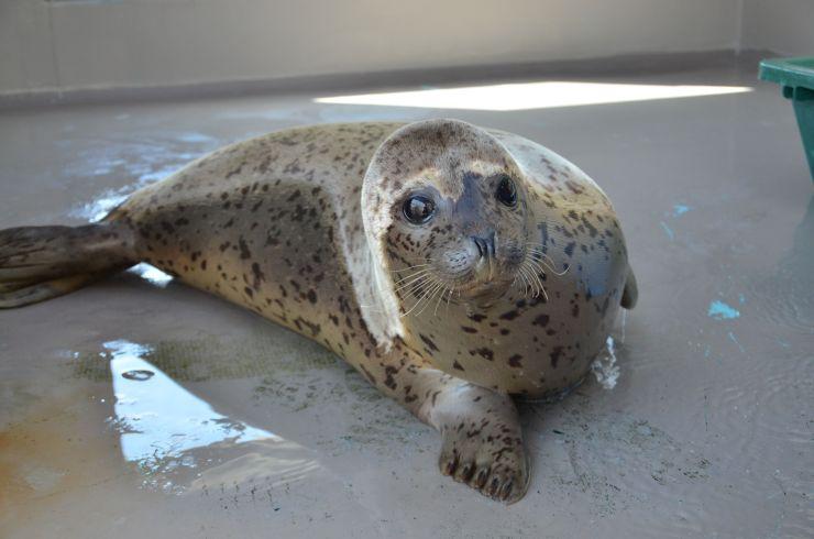 愛称が「ヨイチ」に決まった雄のゴマフアザラシ=30日(新潟市水族館マリンピア日本海提供)