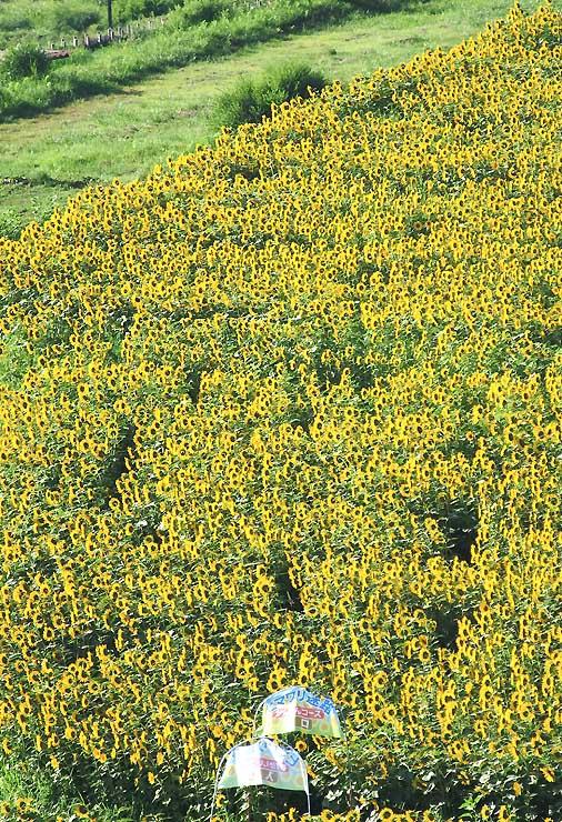 強い日差しを受けて黄色が鮮やかさを増した「ヒマワリ迷路」=2日、安曇野市の国営アルプスあづみの公園堀金・穂高地区(小型無人機で撮影)