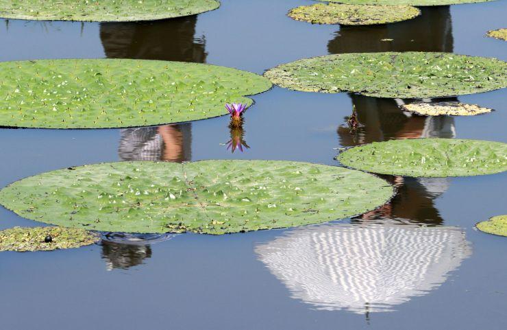 水面から赤紫色の花をのぞかせるオニバス=8月4日、新潟市北区