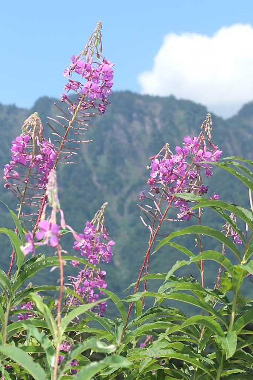 夏空と戸隠連峰を背に咲くヤナギラン=長野市の戸隠スキー場