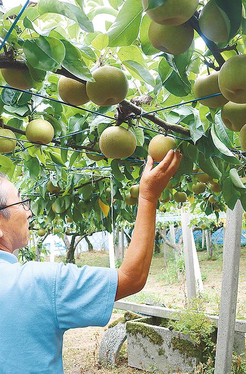 幸水の目ぞろい会で、出荷に適した果実の大きさや色を確認する生産者=JAなのはな選果場