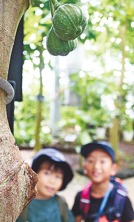 幹に直接花を咲かせるオオバイチジク