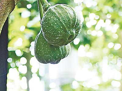 オオバイチジク21年目の初開花 県中央植物園