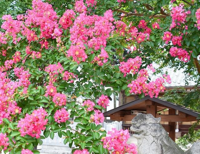 境内を色鮮やかに彩るサルスベリ=8月7日、福井県大野市の春日神社
