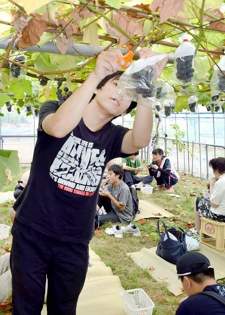 一足早くブドウ狩りを楽しむ障害者福祉施設の利用者=8月8日、福井県越前市中山町の観光農園「どんぐり山」