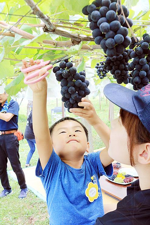 バッファローの摘み取りを体験する園児=魚津市小川寺のブドウ園
