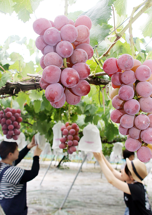 たわわに実ったブドウ=音川観光ぶどう園