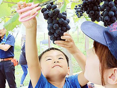 ブドウ食べ頃 魚津と富山