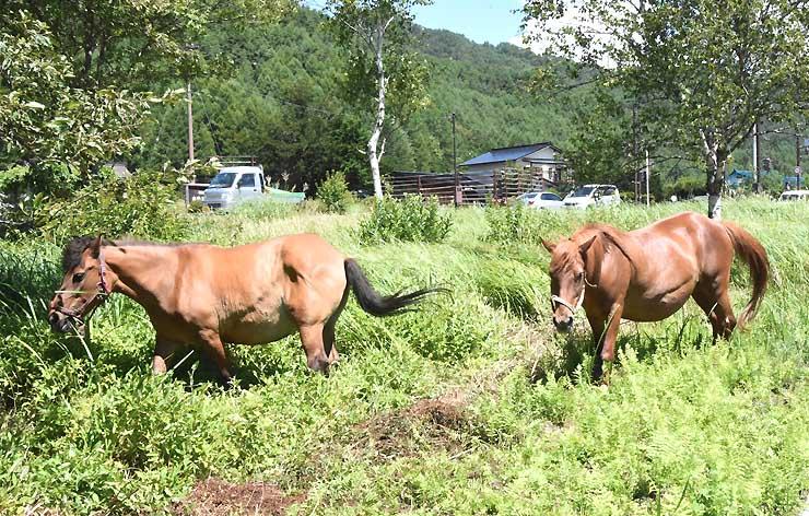 国道沿いに放牧された木曽馬の富花号(左)と福栄号。脇見運転にはご注意を