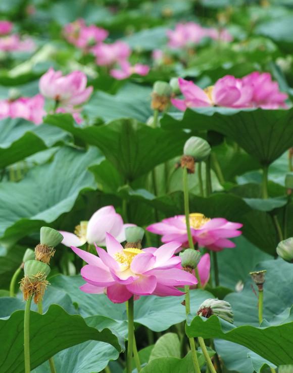 きれいに色づくハスの花=10日、筑北村の県営小仁熊ダム(小型無人機で撮影)
