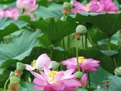 小仁熊ダム湖面に「大賀ハス」 桃色と緑のコントラスト