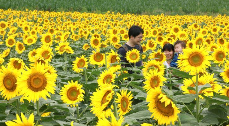 ヒマワリが咲き誇る津南ひまわり広場=11日、津南町芦ケ崎