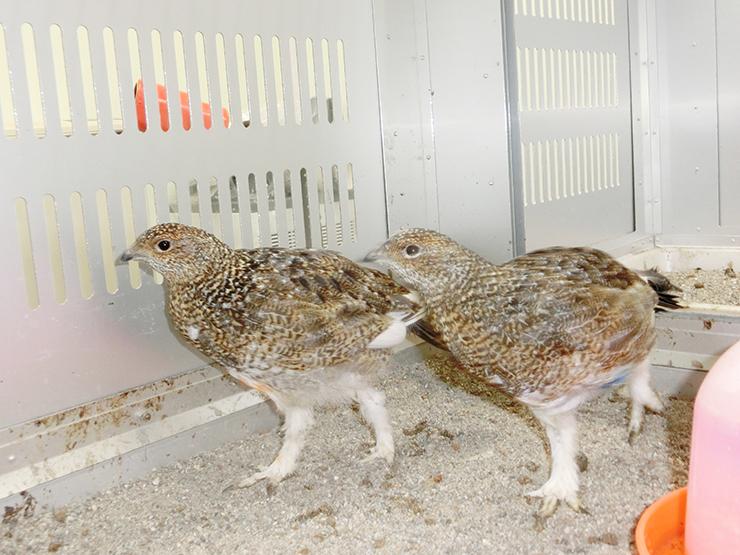 誕生から2カ月たった雌のひな2羽。脚の羽が生え替わり、白くなった=12日、富山市ファミリーパーク(同パーク提供)
