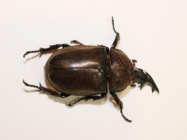 頭が雄、体は雌のカブトムシ