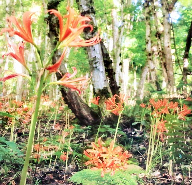 木漏れ日にオレンジ色の花がきらめくキツネノカミソリ=8月15日、福井県福井市の下市山(佐々木徹さん撮影)