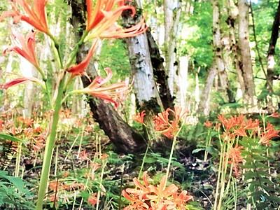 鋭く美しく、キツネノカミソリの花が見頃 福井市の下市山