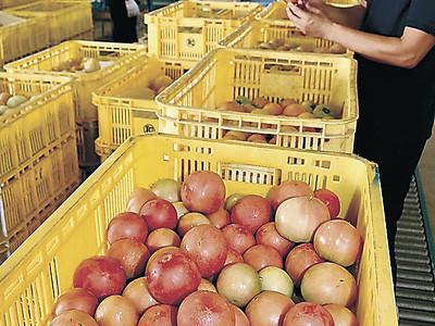 小松の夏秋トマト初出荷