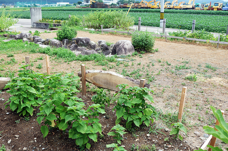 エゴマやアズキ、カラムシを栽培する「縄文ガーデン」