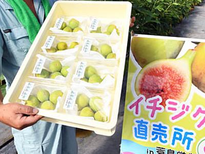 小粒イチジク甘みたっぷり 福岡「コナドリア」収穫期