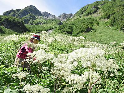 暑さで? 花の数「10倍」 北ア涸沢のミヤマシシウド