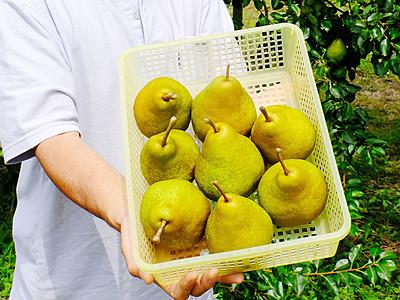 西洋ナシ甘みたっぷり 佐々木りんご園わせ品種収穫開始