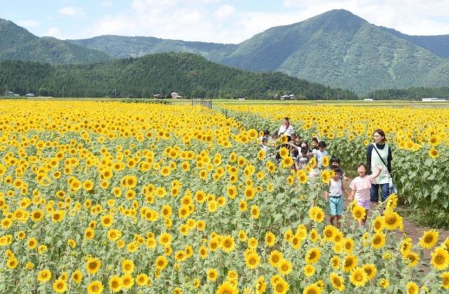 一面を黄色く彩るヒマワリ畑=8月21日、福井県大野市稲郷