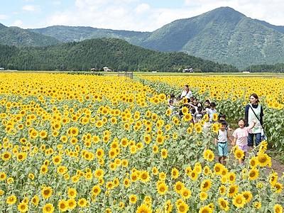 田園に「太陽」満開 大野でヒマワリ2万本見頃