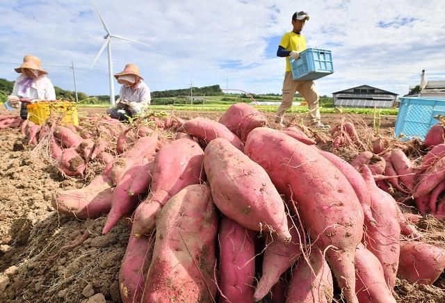 爽やかな青空の下、収穫されるサツマイモ「とみつ金時」=8月21日、福井県あわら市北潟