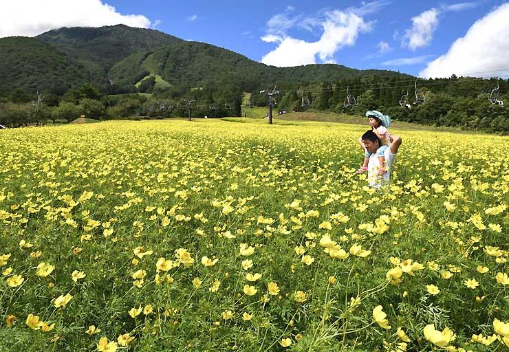 爽やかな青空の下、一面に咲き誇るキバナコスモス=21日、信濃町野尻
