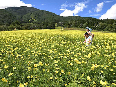 花じゅうたん、風にゆらり 黒姫高原のキバナコスモス