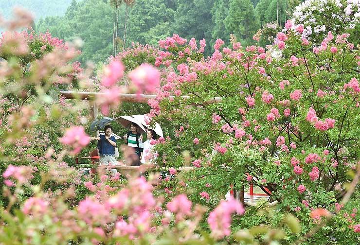 枝先に色鮮やかな花を咲かせるサルスベリ=28日、長野市若穂保科