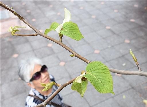 返り咲きし白い葉が見えるハンカチノキ=8月29日、福井県越前町の福井総合植物園プラントピア