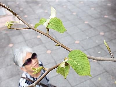 季節外れのハンカチノキの花 福井総合植物園プラントピアでお目見え