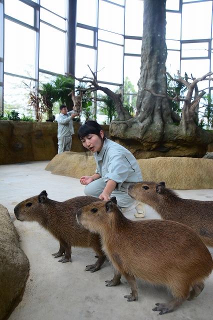 カピバラの世話をする飼育員=9月4日、福井県福井市足羽山公園遊園地の「ハピジャン」