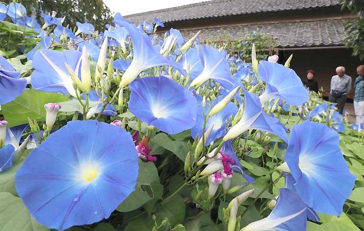咲きそろい見頃を迎えたヘブンリーブルー