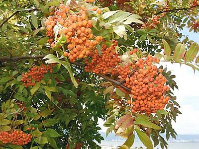 ナナカマド、秋の色へ 諏訪湖畔、たくさんの実
