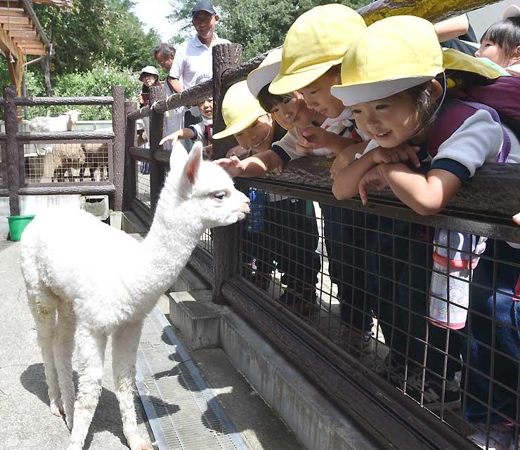 来園した幼稚園児らと触れ合うアルパカの赤ちゃん=11日、長野市茶臼山動物園