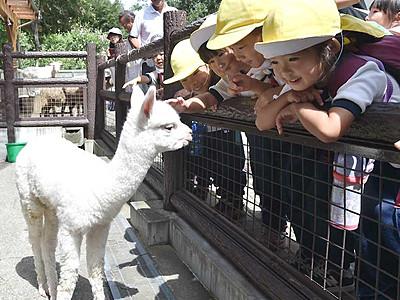 アルパカ赤ちゃん、公開へ準備 長野・茶臼山動物園