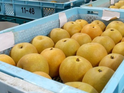 黄金色の実甘みも十分 新品種ナシ出荷始まる 加茂