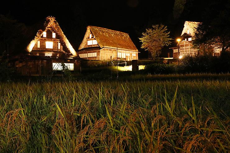 ライトアップされ暗闇に浮かび上がった合掌造り家屋と田んぼの稲穂=南砺市相倉