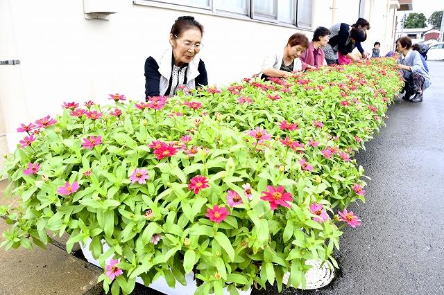 「花いっぱい運動」で住民らが育てた花々=9月15日、福井県福井市の宮ノ下公民館