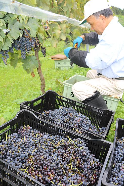 赤ワイン用のブドウの収穫が進むセイズファームの農園=氷見市余川